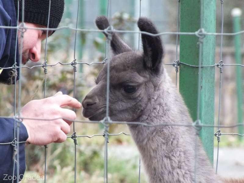 Grădina Zoologică din Oradea are încă un pui de lamă