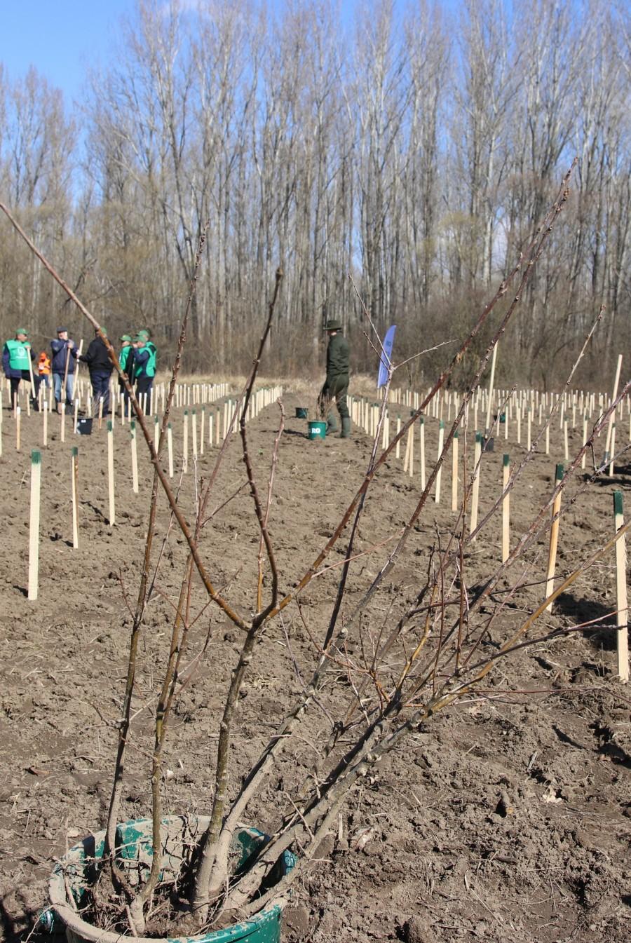 Romsilva va planta circa 19 milioane de puieți forestieri în campania de împăduriri de primăvară