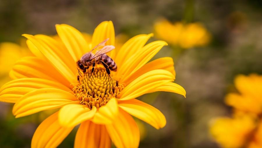 Populaţiile de albine şi polenizatori sălbatici s-au restrâns drastic, ca o consecinţă a activităţii umane iraţionale