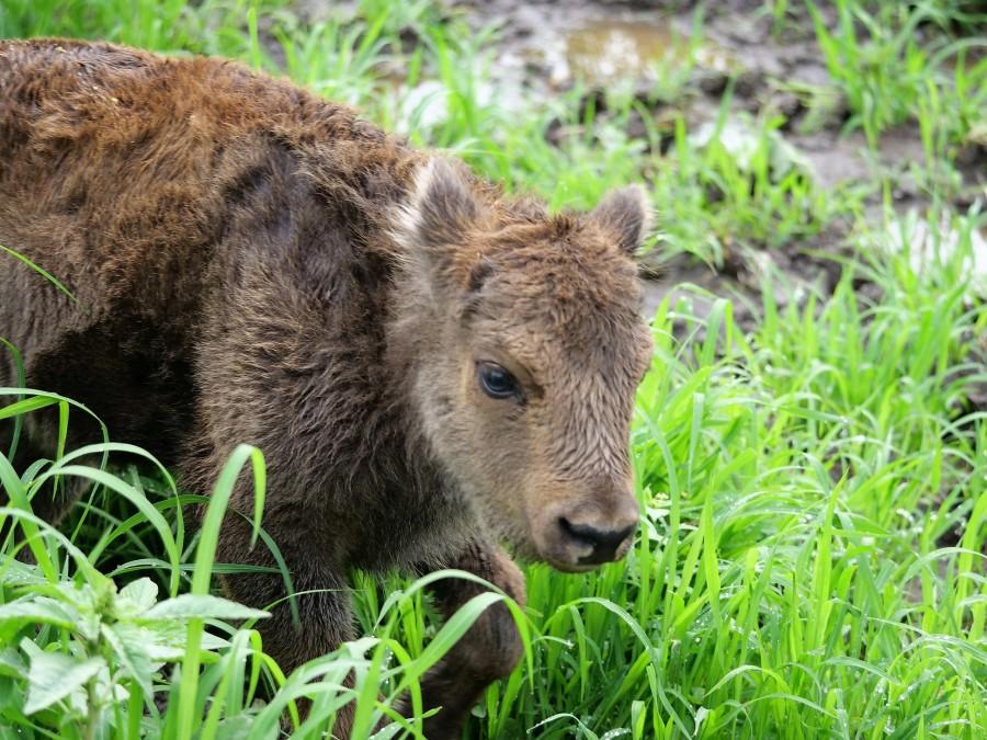 Romică, cel mai tânăr membru al Rezervației de zimbri din Hațeg