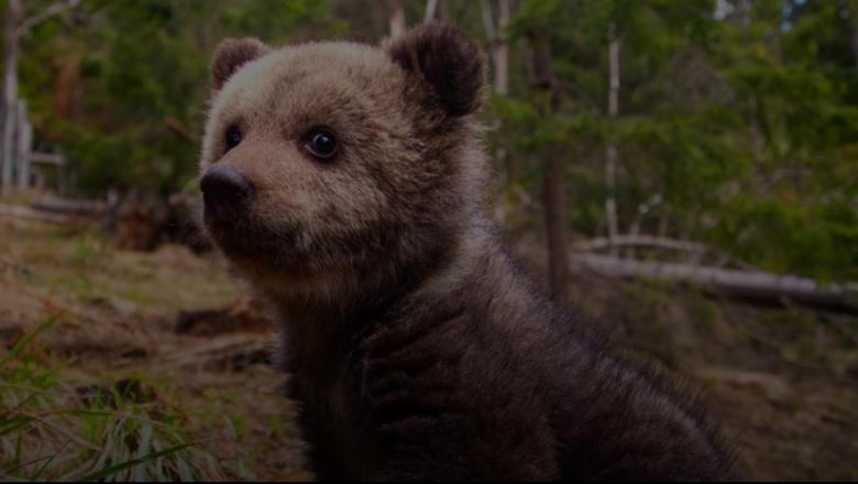 Urşii orfani din România au propria platformă video pe care pot fi urmăriţi în timp ce mănâncă, se joacă şi se caţără în copaci